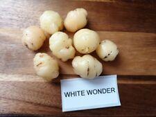Oca - White wonder - Oxalis tuberosa - 3 Knolle - FEINE RARITäT