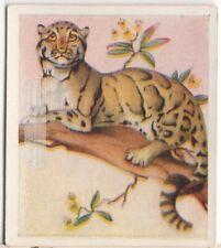 Clouded Leopard Large Cat Wild Feline c80 Y/O Trade Ad Card