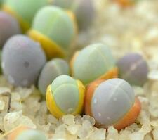 Gibbaeum comptonii exotic succulent rare ice living rocks mesembs seed  50 SEEDS
