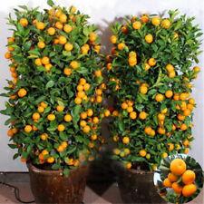 Seeds Mandarin Edible Citrus Tree Bonsai Fruit Orange 30pcs