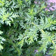 100+ Artemisia Sweet Annie Flower Seeds / Aromatic Perennial