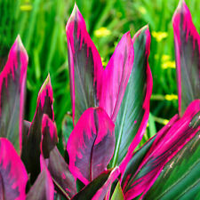 Cordyline Tango - Cabbage Palm | Best Indoor Plant Gifts | 30-40cm Potted
