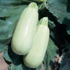 Seeds Squash Zucchini Beloplodny White Vegetable Organic Heirloom Russia Ukraine