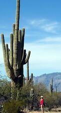 True CACTUS GIGANTE SEMI fino a 40ft! SAGUARO semi freschi! pianta d'appartamento. ad albero cactus