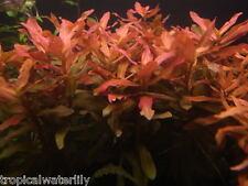 Ammannia Gracilis Bunch Live Aquarium Plants Freshwater Fish Tank Decorations