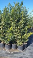 Japanese Yew Tree 5 Gal. Plant Landscaping Plants Evergreen Shrub Shrubs Popular