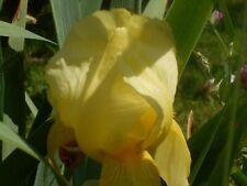 "3 light yellow, tall bearded Iris rhizomes, plants, bulbs, roots. 40"" tall"