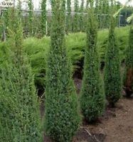 Juniperus communis Arnold - Heidewacholder Arnold