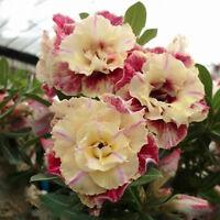 """5X Wüstenrose Blume Adenium """"PEONY"""" Bonsai Samen Hausgarten"""