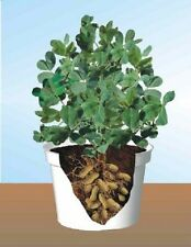 5g (approx. 18) peanut seeds PINDA could be grown in the containers, healty