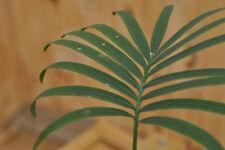 Cycas siamensis plantule/seedling, Encephalartos, cycad, Dioon