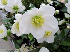 HELLEBORUS WHITE Perennial Christmas Rose Heleborus Shade Corsicus 10 Seeds