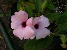 Thunbergia alata Raspberry Smoothie pint plant