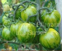 🔥 🍅 WHITE ZEBRA Tomate weiß * historische Tomaten* 10 Samen