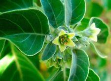 50 Graines Withania somnifera ASHWAGANDHA GINSENG INDIEN Seeds