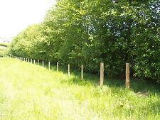 5 Italian Alder Hedging 2-3ft ,Alnus Cordata Trees.Very Quick Wind Break Hedge