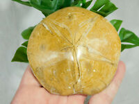 A HUGE! Very Well Defined Polished SEA URCHIN Fossil! from Madagascar 212gr