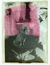 Photo négatif sur verre le chien et son maitre vers 1910 dog curiosité masquage