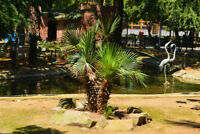 Palmensamen frosthart winterhart Garten Zierbaum PALMETTO