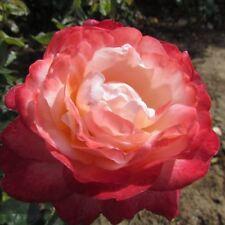 SONGBIRD, 4lt Potted Floribunda Garden Rose, Pink & Cherry Edge -New & Exclusive
