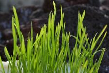 WHEATGRASS 350+ seeds *Organic* SPROUTS or CATS grass seeds garden Boondie Seeds