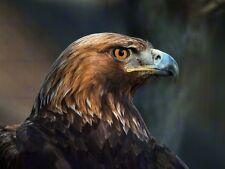 FOTO di origine animale uccello preda GOLDEN EAGLE HEAD 12 x 16 cm ART PRINT POSTER hp2065
