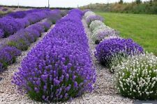 150 TRUE ENGLISH LAVENDER SEEDS 2018 (all non-gmo heirloom seeds!)