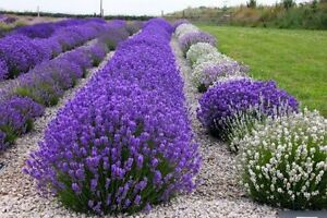 150 TRUE ENGLISH LAVENDER SEEDS 2021 (all non-gmo heirloom seeds!)