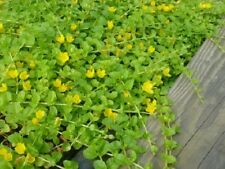 special bassin  Lysimachia nummularia aurea plante jaune bassin aquarium