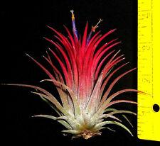 2-1/2 inch tall ionantha tillandsia airplant air plant from oahu hawaii
