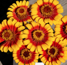 Sombrero Zinnia Seeds USA Garden Flower Mexican Sunflower Daisy Zinnia Seed 2021