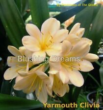 House Plant - Clivia  1-Leaf Seedling  - Blushing Dreams x Petite Point