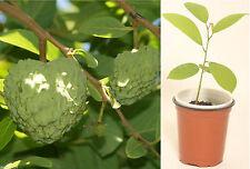 Cherimoya Annona cherimola Extra Large Fruits Live Seedling Rooted Plant