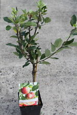 Dwarf Patio Fruit Tree- Apple- Variety James Grieve - Approx 1M Tall