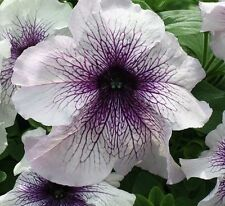 Pelleted Prism Blackberry Sundae Petunia Seeds 1,000 BULK PETUNIA SEEDS