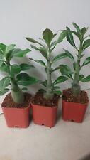 3 Desert rose plants multi colors, red, white,purple Adenium obesum, free ship