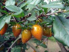 Diospyros rhombifolia PRINCESS PERSIMMON TREE Seeds!