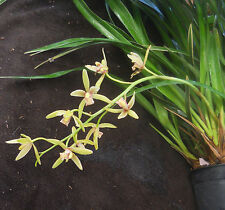 Cymbidium Dr Chang-Chin (floribundum x dayanum), orchid plant