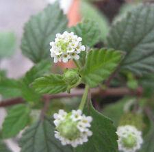 20 graines Herbe sucrée des Aztèques (Lippia Dulcis) G551 AZTEC SWEET HERB SEEDS