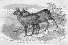 Moschustier Moschus moschiferus  HOLZSTICH 1877