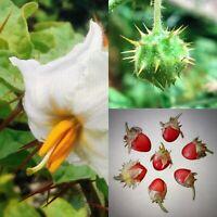 Litschi-Tomate 10 Samen -Solanum sisymbriifolium-   Leckere Süße Früchte