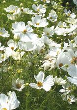 Schmuckkörbchen Sensation weiß Cosmos bipinnatus Samen Saatgut Saat Qualität