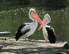 METAL REFRIGERATOR MAGNET Two Australian Pelicans Black White Birds Pelican Bird