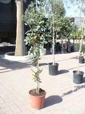 Johannisbrotbaum  (Ceratonia siliqua), Karobbaum, Bockshörndlbaum, schöner Baum