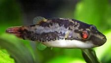 Dwarf Red-tailed Redeye Puffer Live Freshwater Aquarium Fish