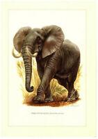 Alter Farbdruck: Afrikanischer Elefant, Original 1958 no copy Druck Bild Loxodon
