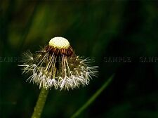 NATURE PLANT FLOWER SEED DANDELION STEM POSTER ART PRINT HOME PICTURE BB1601A