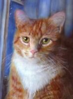 BCB Orange Tabby Cat Waiting at the Window Print of Painting ACEO 2.5 x 3.5 Inch