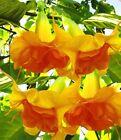 10 DBL Bright Yellow Orange Angel Trumpet Seeds Flowers Seed Flower 291 US SELLE