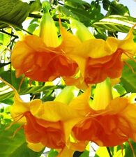 10 Double Bright Yellow Orange Angel Trumpet Seeds Flowers Seed Flower 750